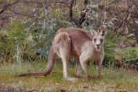 Foto de Kangaroo in Australia - Australia