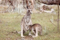 Foto de Kangaroo and joey in Australia - Australia