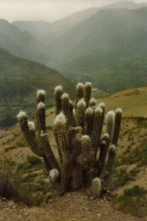 Picture of Cactus and mountain landscape near La Paz - Bolivia