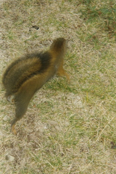 Send picture of Squirrel in Jasper National Park from Canada as a free postcard