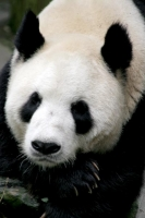 Foto van Close-up of giant panda - China