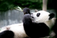 Foto van Giant panda in Wolong Research Centre - China