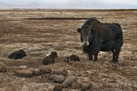 Foto van Yak with calves in the Tibetan highlands - China