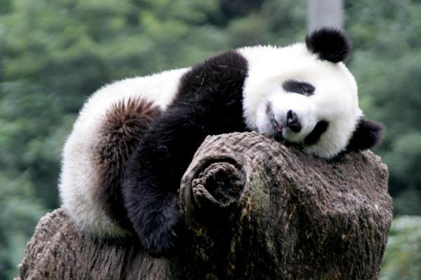 Send picture of Giant panda sleeping at Wolong Research Centre from China as a free postcard