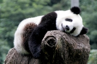 Foto van Giant panda sleeping at Wolong Research Centre - China