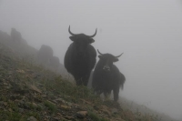 Foto van Yaks on the Zheduo pass - China