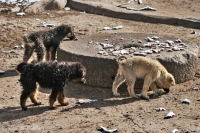 Foto di Tibetan dogs eating the remains of a human body after a sky burial - China