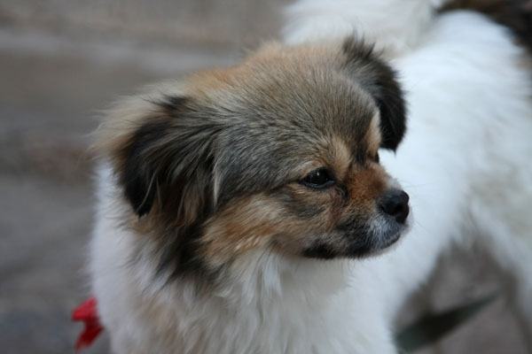 Send picture of Pekingese dog in Lijiang from China as a free postcard