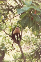 Photo de White faced monkey - Costa Rica