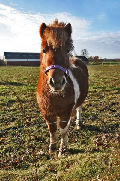 Send picture of Pony in eastern Jutland from Denmark as a free postcard