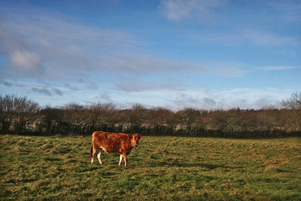 Send picture of Danish cow in eastern Jutland from Denmark as a free postcard