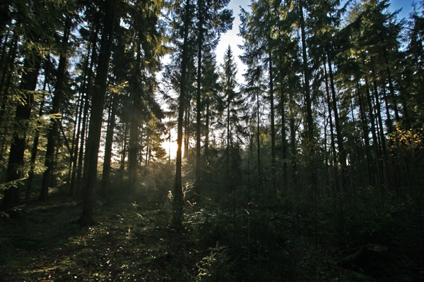 Send picture of Light coming through the trees in a forest in Jutland from Denmark as a free postcard