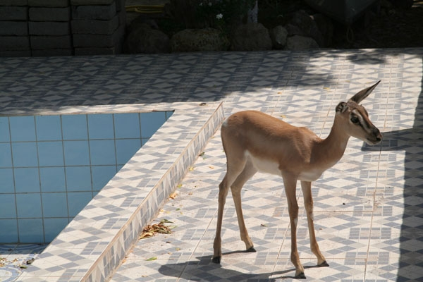  Shy, but curious dik dik by the swimming pool of a hotel in Tadjoura