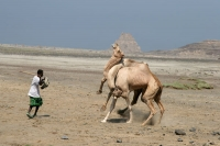 Foto van Camels fighting near Lac Abbé - Djibouti