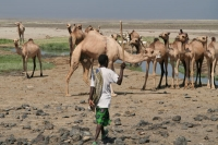 Photo de Camel herd in Lac Abbé - Djibouti