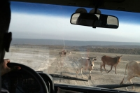 Foto van A driver waiting for animals to cross the road - Djibouti
