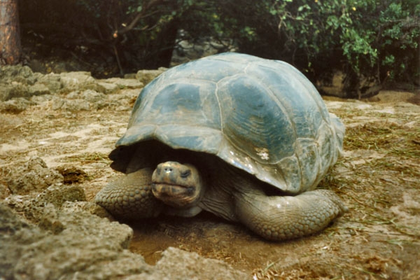 Send picture of Giant turtle on Galápagos Island from Ecuador as a free postcard