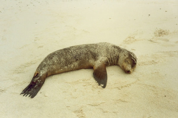 Send picture of Sleeping seal on Galápagos Island from Ecuador as a free postcard