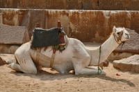 Foto di Camel used for riding tourists at the Giza Pyramids - Egypt
