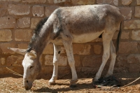 Photo de Donkey in Siwa - Egypt