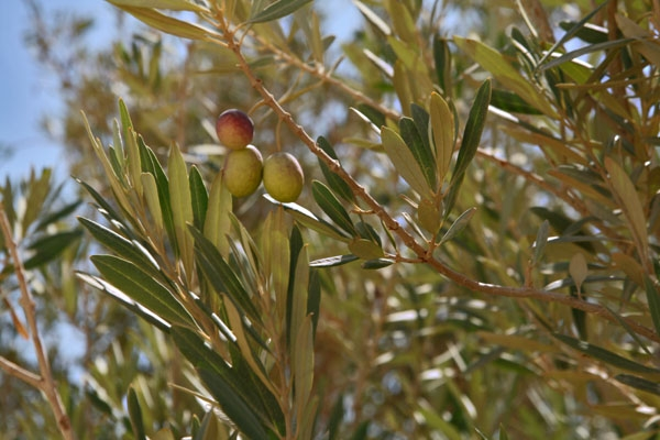 Send picture of Fresh olives in Siwa from Egypt as a free postcard