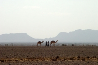 Picture of Camels in Dankalia - Eritrea