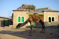 Picture of Camel in Iddi - Eritrea
