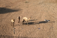 Foto van Man with his camels in Dire Dawa - Ethiopia