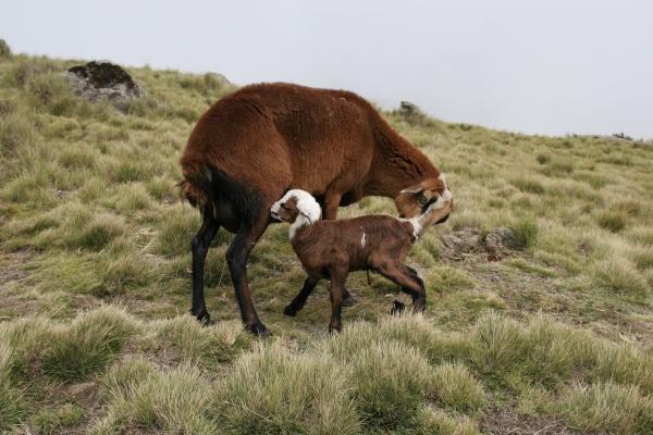 Enviar foto de Two sheep-goat hybrids in the Simiens de Etiopia como tarjeta postal eletrónica