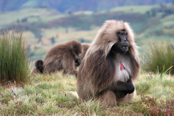 Send picture of Gelada baboon in the Simien mountains from Ethiopia as a free postcard