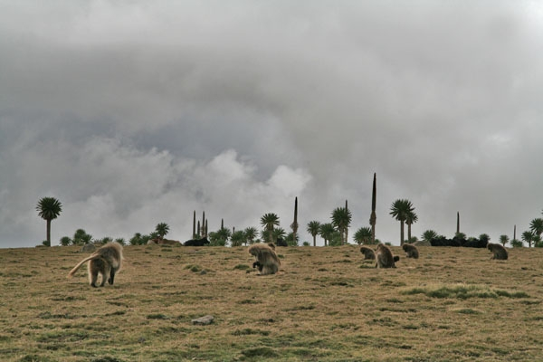 Send picture of Baboons in the Simien mountains from Ethiopia as a free postcard