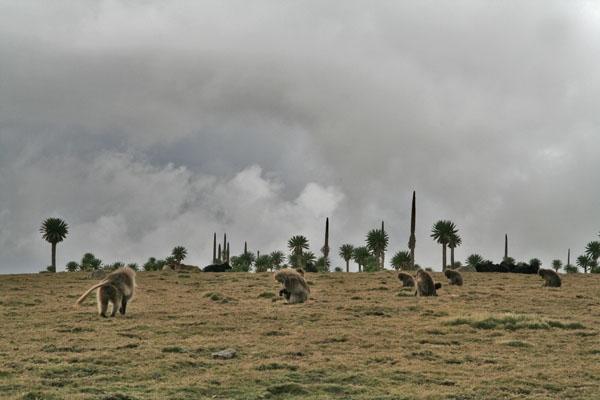 Spedire foto di Baboons in the Simien mountains di Etiopia come cartolina postale elettronica