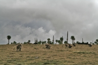 Foto di Baboons in the Simien mountains - Ethiopia