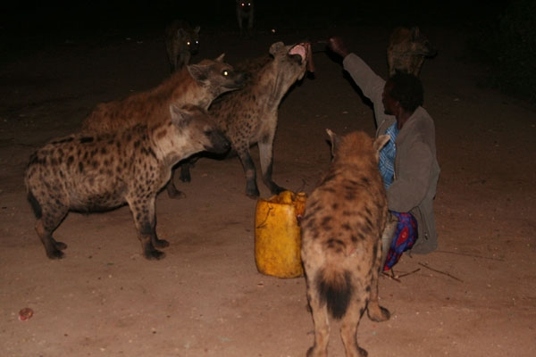Stuur foto van The Hyena Man in Harar makes a living of feeding hyenas in front of a paying audience van Ethiopië als een gratis kaart