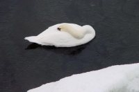 Foto van Swan and snow - Finland