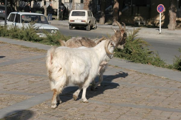 Send picture of Livestock in the streets of Mtskheta from Georgia as a free postcard