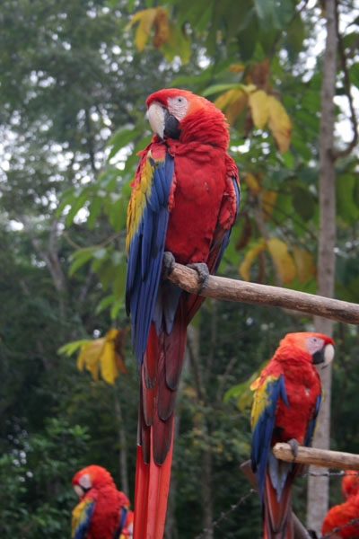 Parrots at Copán ruins