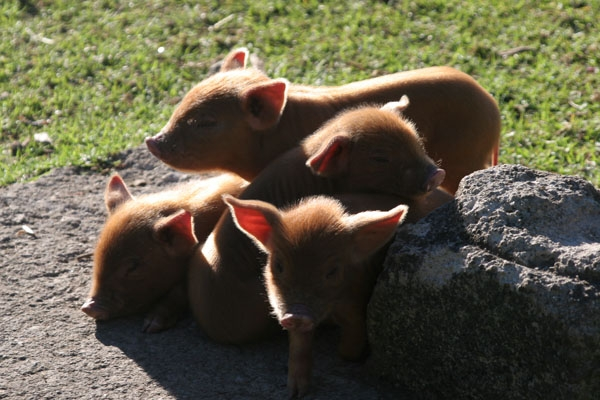  Sleeping piglets