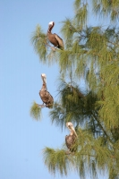 Photo de Pelicans resting in a tree - Honduras