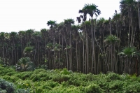 Picture of Palm trees at Utila - Honduras