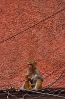 Foto de Monkeys on a Delhi roof - India
