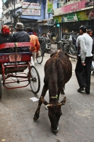 Picture of A cow in the streets of Delhi - India