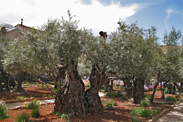 Send picture of Old olive trees in the Garden of Gethsemane from Israel as a free postcard