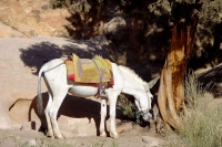 Photo de Mule by a tree in Petra - Jordan