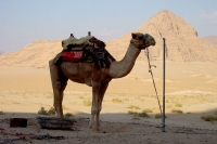 Photo de Camel in Wadi Rum desert - Jordan