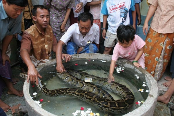 Enviar foto de Grooming of holy python in Snake Pagoda in Paleik de Myanmar (Birmania) como tarjeta postal eletr&oacute;nica