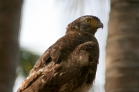 Foto van Bird of prey by Ngwe Saung Beach - Myanmar (Burma)