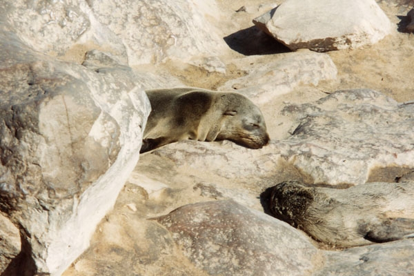 Send picture of Seals on the Namibian coast from Namibia as a free postcard