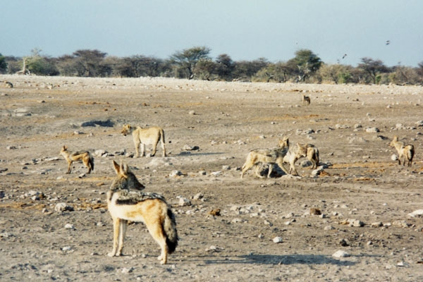 Black backed jackals and lion in Etosha National Park
