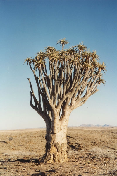 Send picture of Quivertree near Keetmanshoop from Namibia as a free postcard